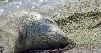 Θλίψη για νεκρή μεσογειακή φώκια