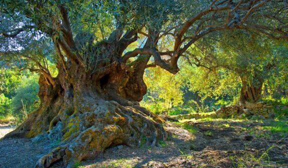 προστασία αιωνόβιων ελαιοδέντρων