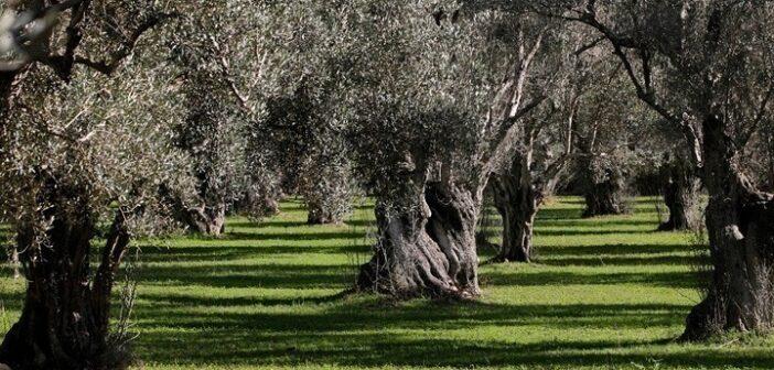 Περιφέρεια Νοτίου Αιγαίου: Κάνει καταγραφή αιωνόβιων ελαιόδεντρων για την προστασία τους